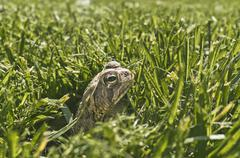 Toad in fresh cut grass Stock Photos