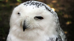 Hooting white owl Stock Footage