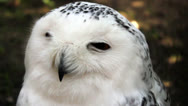 Stock Video Footage of Hooting white owl
