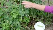 Stock Video Footage of woman hand gather pick up ripe pease in white dish