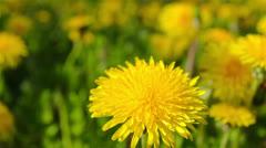 dandelions, shooting slider, macro - stock footage