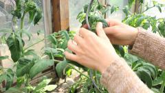 Tomato plants Stock Footage