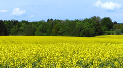 Stock Video Footage of rape field in spring