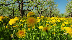 Dandelions, shooting slider, macro Stock Footage