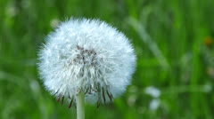 Withered dandelion Stock Footage