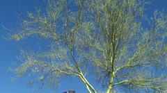 Coolibah Tree without leaves at Ethel M Botanical Garden (spring). Las Vegas. Stock Footage