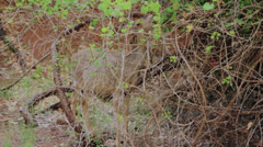 Deer grazing at zion national park Stock Footage