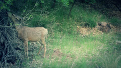A deer grazing at zion national park utah Stock Footage