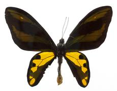 Rothchis's birdwing butterfly on white Stock Photos