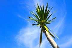dracaena tree - stock photo