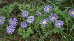 Spring Bulb Sapphire anemone or Anemoneblanda2 Stock Footage