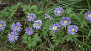 Stock Video Footage of Spring Bulb Sapphire anemone or Anemone blanda 2