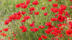 Many red poppy flowers in field Stock Footage