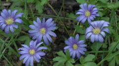 Spring Bulb Sapphire anemone or Anemoneblanda1 Stock Footage