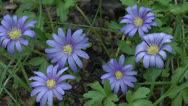 Stock Video Footage of Spring Bulb Sapphire anemone or Anemone blanda 1