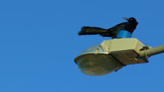 Great-tailed Grackle Stock Footage