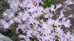 Lily Flowers Stock Footage