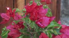 bougainvillea flowers - stock footage