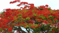 Acacia Tree Stock Footage