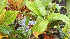 Croton (Codiaeum variegatum) in rain - Bali, Indonesia Stock Footage