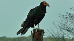 Lesser Yellow-headed Vulture (Cathartes burrovianus) Stock Footage