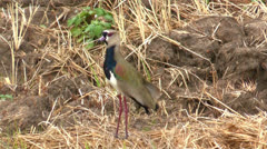 Southern Lapwing - stock footage