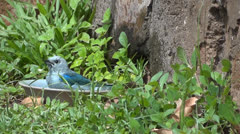 Blue-gray Tanager Stock Footage