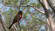 Stock Video Footage of Crimson-backed Tanager
