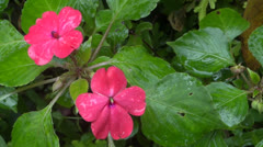 Pink  pansies Stock Footage