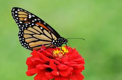 monarch - stock photo