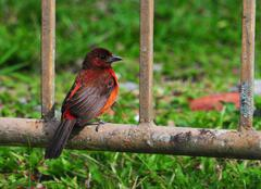crimson-backed tanager - stock photo