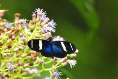 sara longwing (heliconius sara magdalena) - stock photo