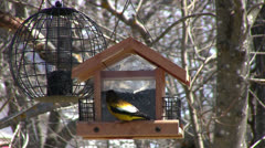 Evening Grosbeak at Feeder Stock Footage