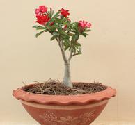 flower pink adenium - stock photo