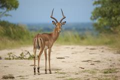 Lone Impala Ram in its Natural Southern African Habitat Stock Photos