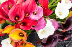 Bright flowering calla lily blooms Stock Photos