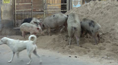 Dirty pigs  in street, Jaipur,Rajasthan,India Stock Footage