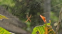 Argiope spider in afternoon sun in Bali, Indonesia Stock Footage