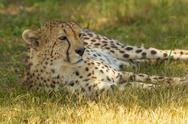 Stock Photo of Cheetah Laying in the African Savannah
