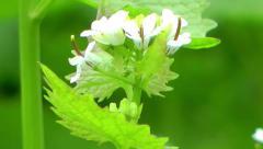 Wild Flowers - Wild Garlic Stock Footage
