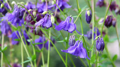 Blue and maroon aquilegia flowers on a green meadow Stock Footage