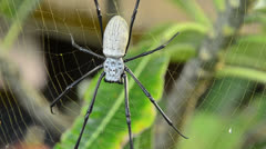 Nephila edulis or Golden Orb spider in Bali. About 10cm long Stock Footage