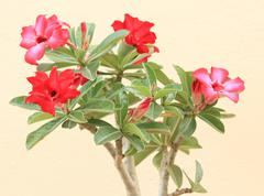 flower pink adenium - stock photo