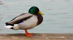 Mallard duck - stock footage