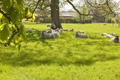 Sheep under horse chestnut trees. Stock Photos