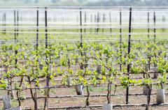 alpine vineyard at spring golan heights - stock photo