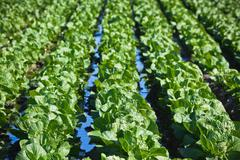 Cultivated field: fresh green salad bed rows Stock Photos