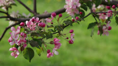 Spring Orchard 01 Stock Footage