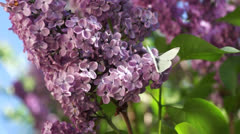 Stock Video Footage of Lilac