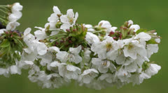 Apple blossoms - stock footage